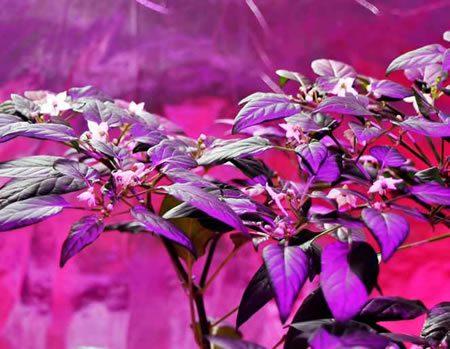 Цветущий куст сладкого перца в фиолетово-розовых тонах